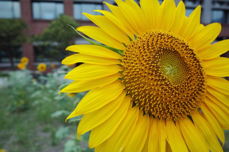 A sunflower enjoying the warm early summer weather (Sigma DP1 Quattro, raw edited, converted jpeg and resized)