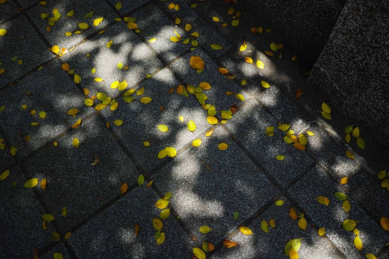 Yellow leaves in the shade (Sigma DP1 Quattro, raw edited, converted jpeg and resized)