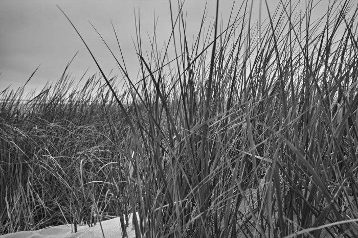 Beach grass in the dunes. (Sigma DP1 Quattro)