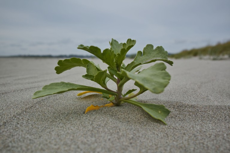 A tiny bit of life popping up in the sand. Seaside, Oregon. (Sigma DP1 Quattro, handheld)